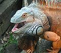 120px-Iguana_iguana_ZOO_Chleby